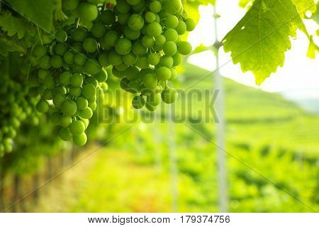 Trentino vineyards in the summer Italy, white wine grapes