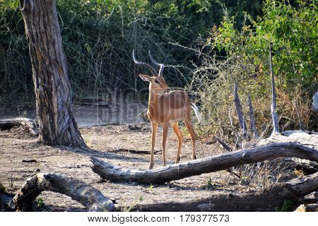 Impala in Chobe National Park in Africa