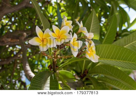 Blossoming Plumaria (monoi) Flowers.