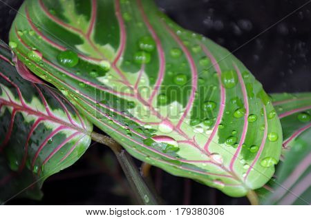 Green leaf of Maranta with red stripes water drops closeup. Selective focus.