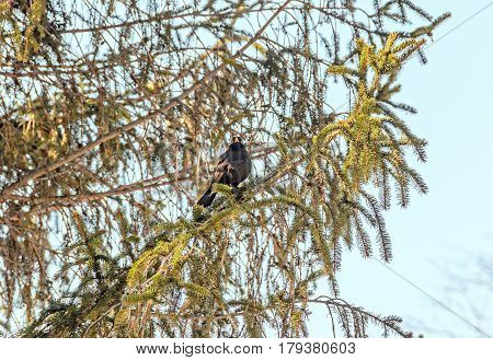 Black Bird With Orange Beak Sitting On A Pine Branch Tree, Close Up Outdoor