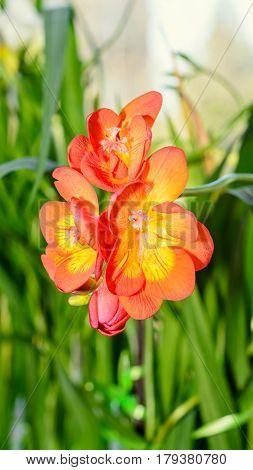 Orange Freesia Flower, Window Background, Green Plant Close Up