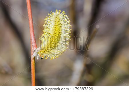 Male Willow Flower