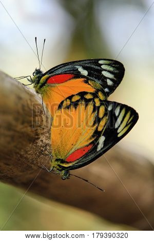 Close up of butterfly couple mating on a tree, Thailand