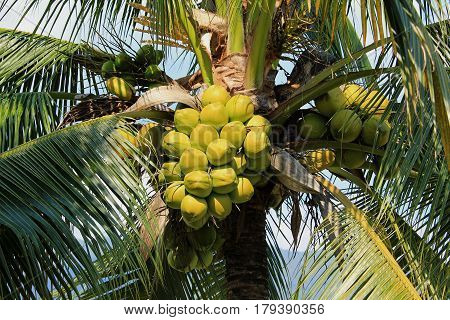 Coconut cluster on coconut tree in Thailand