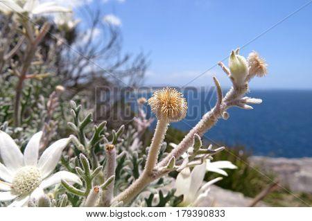 White Flannel flower on a rock edge Australian coast Manly Sydney blue water ocean Actinotus helianthi