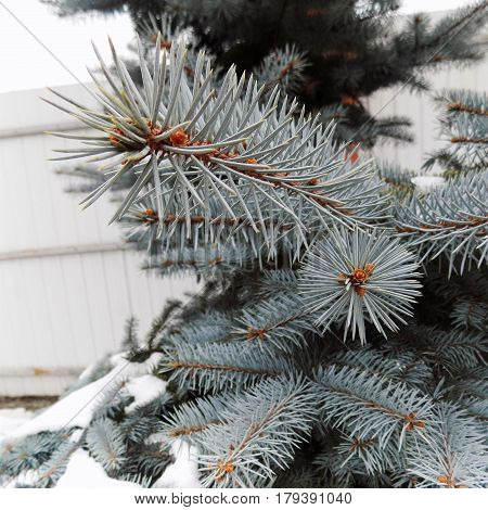 Blue spruce and cones and needles of spruce and snow