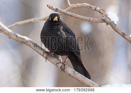 The photo shows a blackbird on a tree