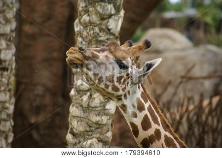 Closeup half turn image of giraffe`s head and neck