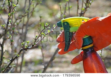 Process of watering and fertilization the garden plants in the spring. Hand in red rubber glove with spray watering branch with sprouts.