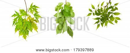 Set The Branch With Green Summer Leaves Isolated