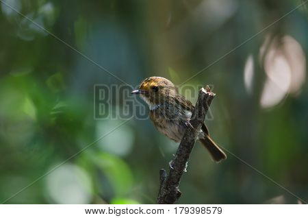 Rufous-browed Flycatcher Perch In Nature