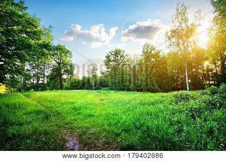 Young birches on a green meadow at sunlight