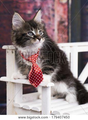 Kitten in a tie, little gentleman