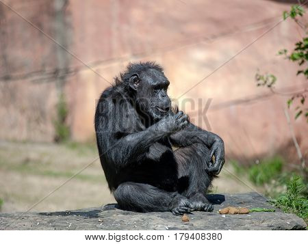 Chimp Sitting in the Sun at the Zoo