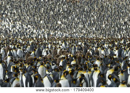 Huge King penguins colony at South Georgia