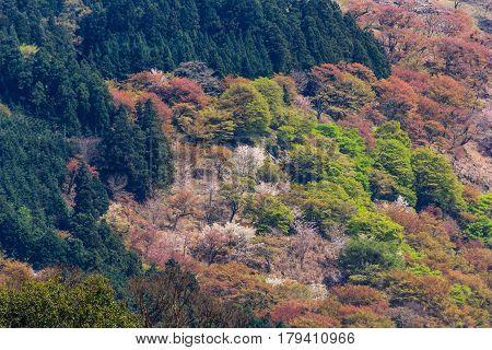 Cherry blossoms on Yoshinoyama Nara Japan spring landscape.