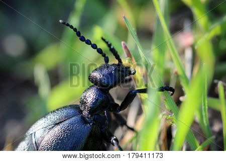 Black Blue beetle in nature, animals, beetle