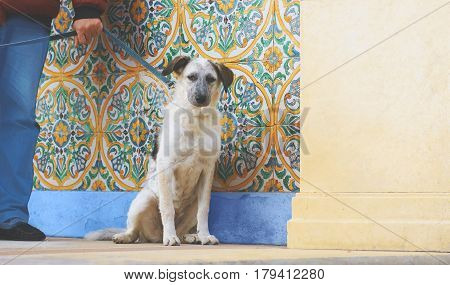 Puppy black and white metisse sitting dog looking at camera and tied with man hand on colorful ornamental background and cream wall at sunny day