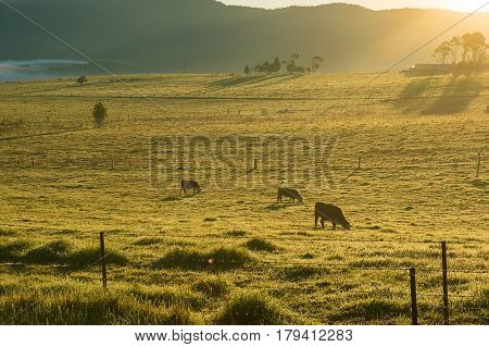 Grazing cows on sunlit pastures in the morning. Agriculture scene