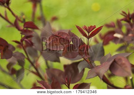 Red leaves of a rosary in a garden. detail of red leaves.