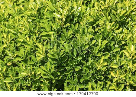 A multitude of leaves texture with green leaves leaves background.