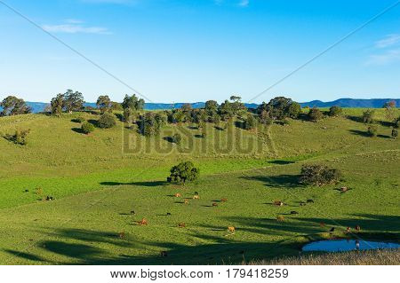 Aerial View Of Grazing Cows On Green Paddock, Pasture