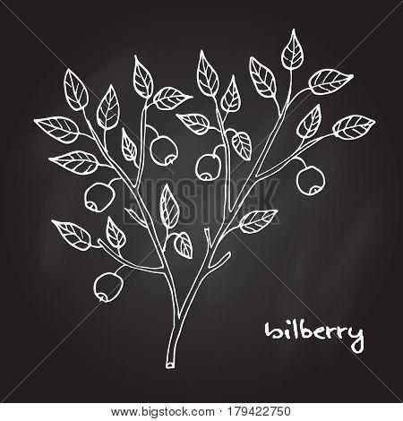 Bilberry ripe. Hand drawn botanical vector illustration