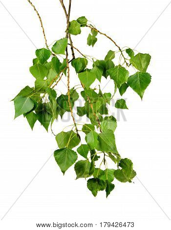 Branch of a poplar with leaves isolated on a white background without a shadow. Summer greens. A park. Allergy.
