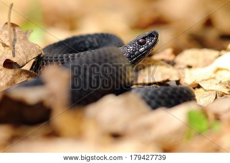 black european viper ( Vipera berus nikolskii ) in autumn forest ground