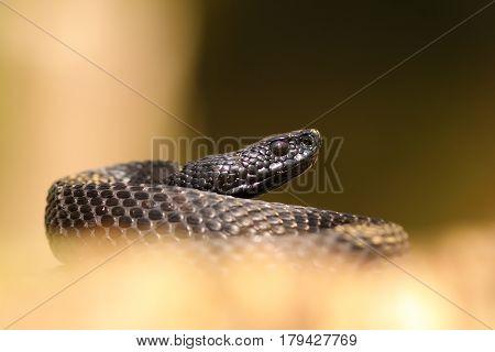 black nikolskii viper ( Vipera berus nikolskii ) over out of focus background