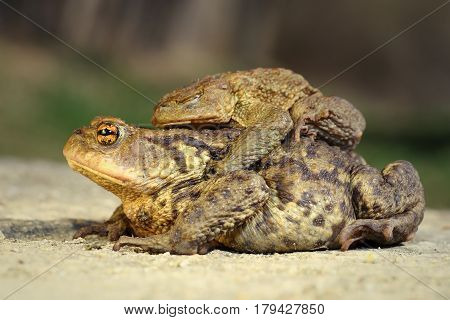 brown common toads mating in spring ( Bufo ) male standing on the back of female