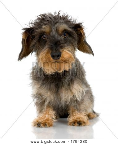 Coarse haired Dachshund in front of a white background poster