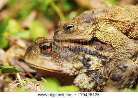 common toads mating ( Bufo ) in early spring female carrying male on her back macro image