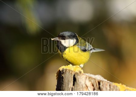 cute great tit sitting on wooden stump hungry garden bird at feeder ( Parus major )