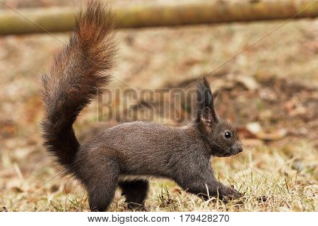 cute european red squirrel in the park walking on the ground with its tail raised ( Sciurus vulgaris )