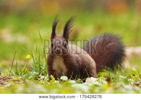 curious cute squirrel in the park ( Sciurus vulgaris )
