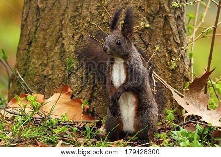 cute curious squirrel in the park ( Sciurus vulgaris )