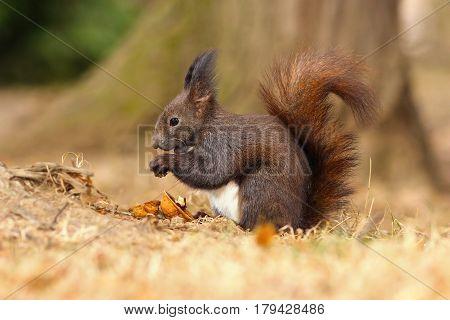 european red squirrel eating walnut on park ground ( Sciurus vulgaris )