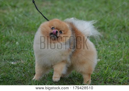Cute little pomeranian dog licking the tip of his nose.