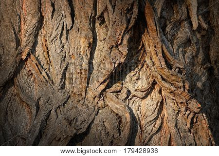 old poplar textured bark from a very big tree