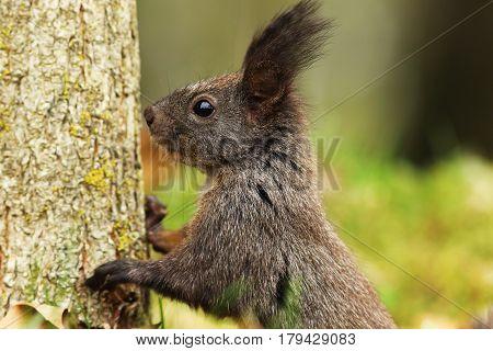 portrait of wild european squirrel ( Sciurus vulgaris )