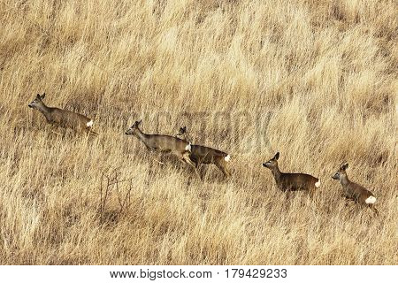 roe deer herd in big faded grass ( Capreolus ) autumn image