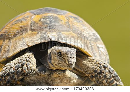 Testudo graeca close up over green background portrait of wild spur-thighed tortois just hatched from hibernation