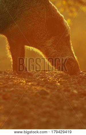 wild boar searching for food at dawn ( Sus scrofa ) beautiful orange light