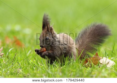 wild european squirrel eating hazelnut ( Sciurus vulgaris ) on the ground