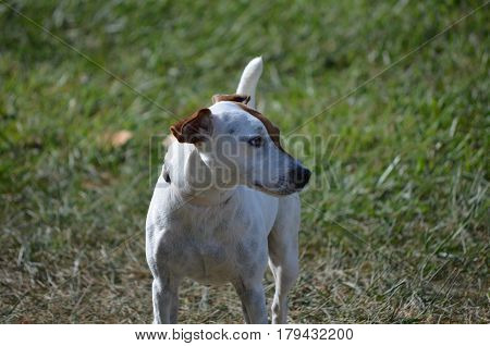 Adorable parson russel terrier dog with a stripe on his face.