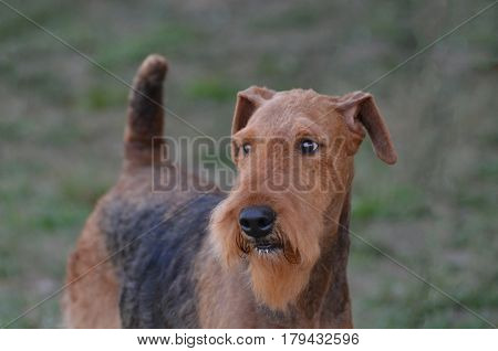 Great capture of the face of an airedale terrier dog.