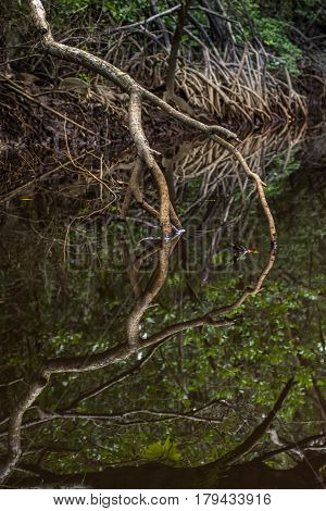 Close Up Tangle Of Mangrove Tree Roots And Branches Growing In To A Calm Mangrove River With Detaile