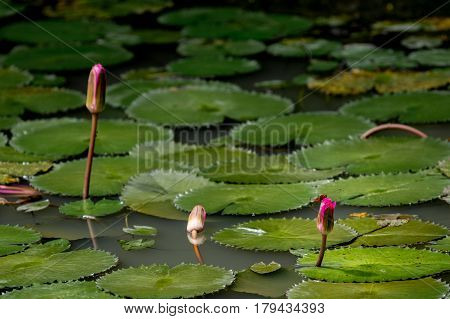 Three closed water lily flowers in a lily pond with a red dragon fly landed on the nearest flower.
